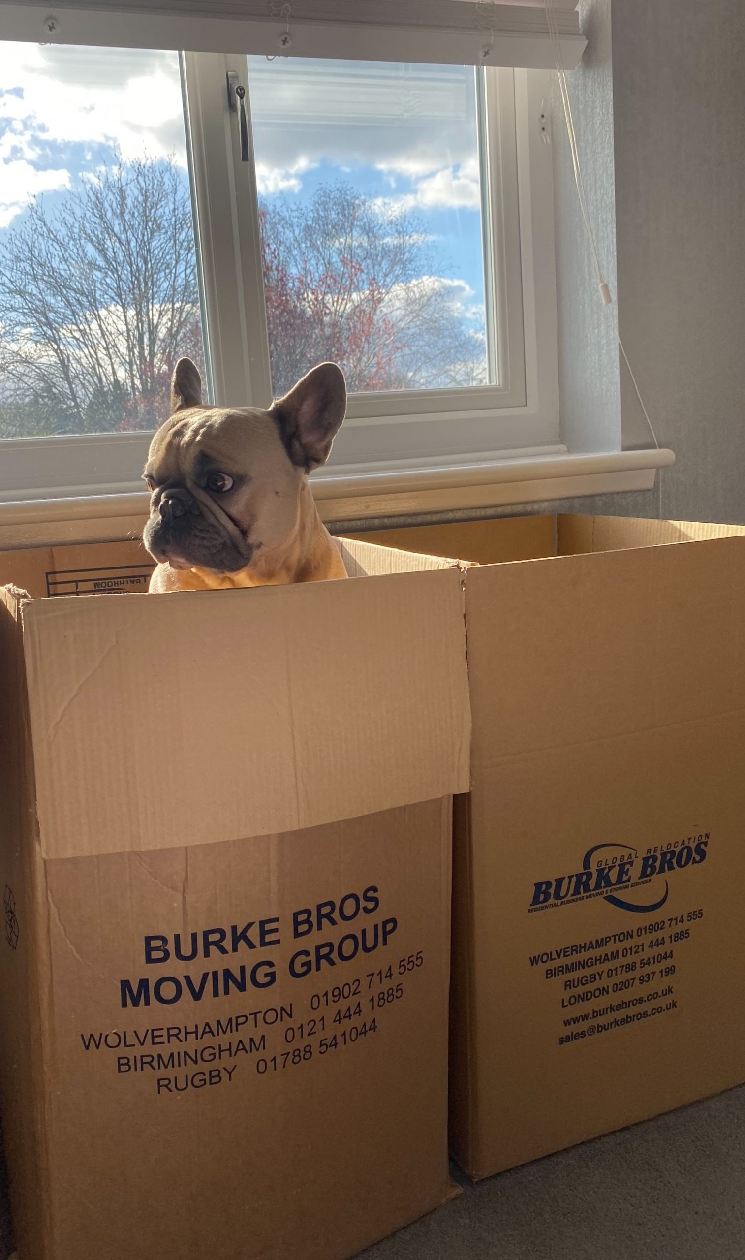 Dog in a removals box